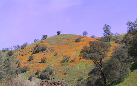 Golden Poppies | Residential Hydroseeding in Southern California | Quality HydroSeeding